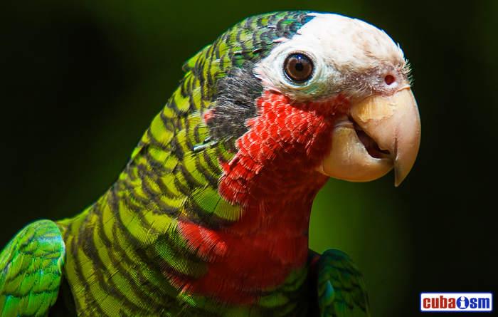 A Cuban Parrot
