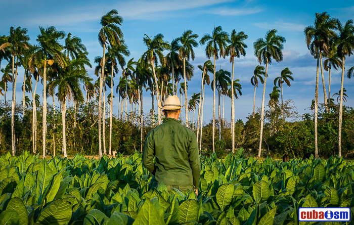Tobacco fields in Pinar del Rio, Cuba